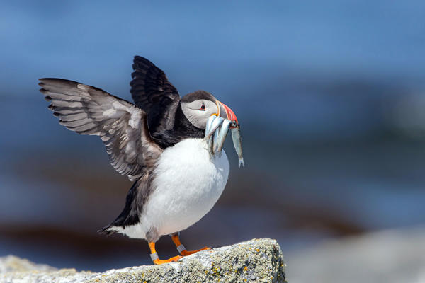 Atlantic Puffin with its wings up
