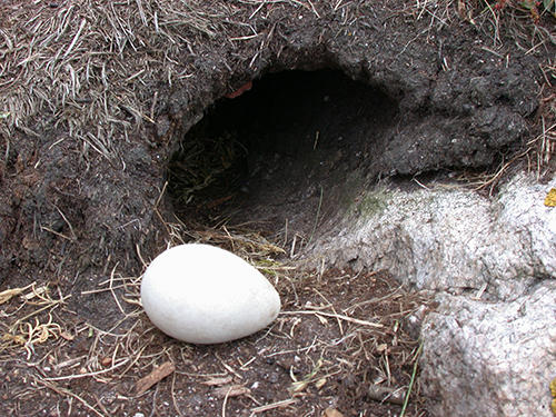 Puffin Egg Outside of Burrow on Matinicus Rock by Steve Kress