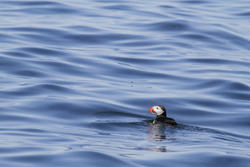 Puffin on the Deep Blue Sea