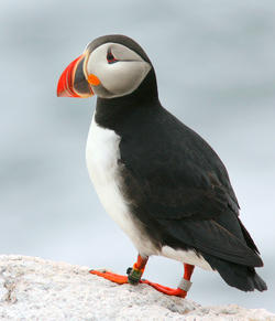 Puffin with Geolocator at Matinicus Rock