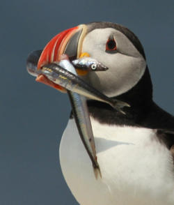 Atlantic Puffin with Sand Lance