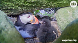 Puffin Parent and Puffling Share a Moment