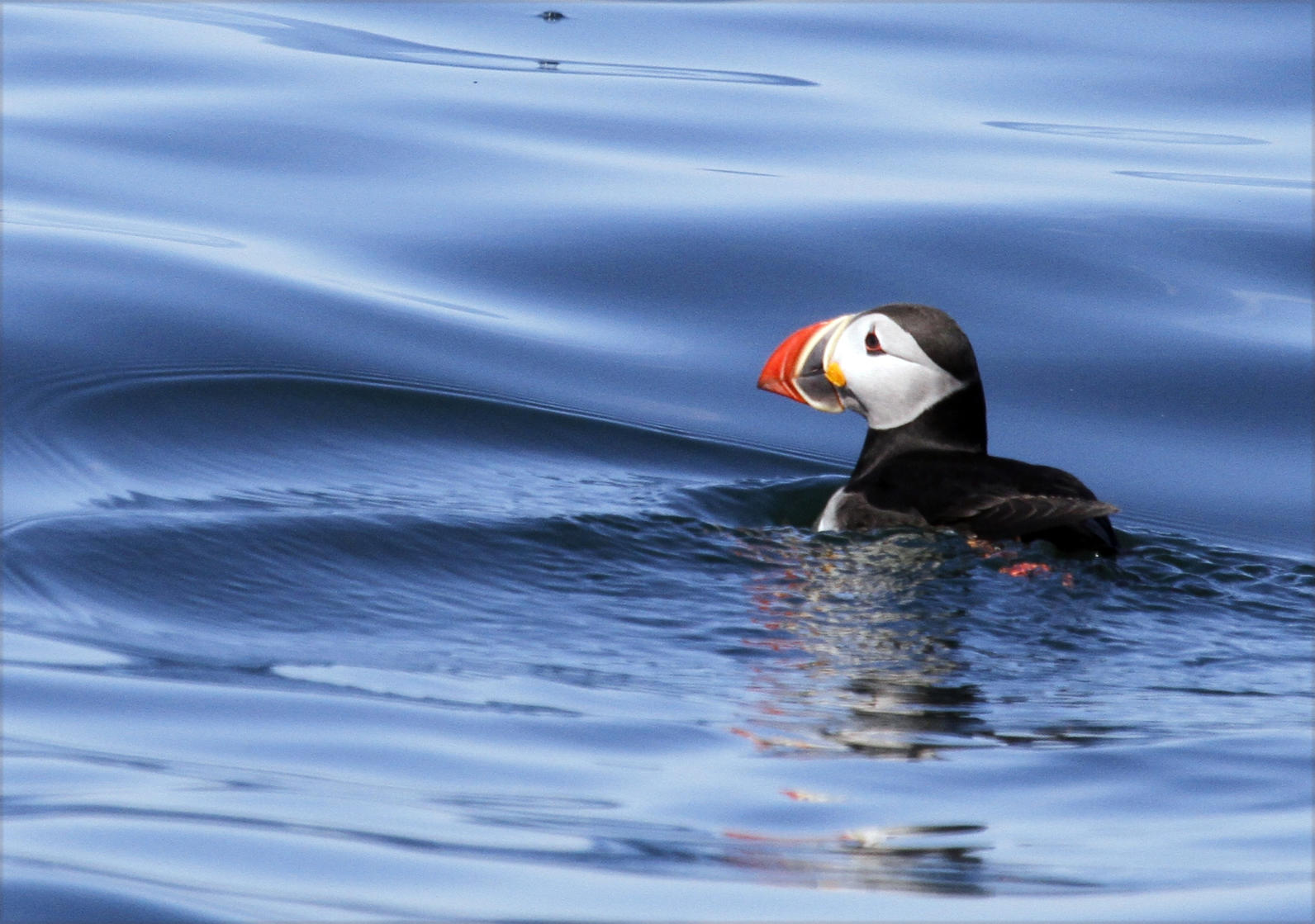 Puffin on Deep Blue Sea
