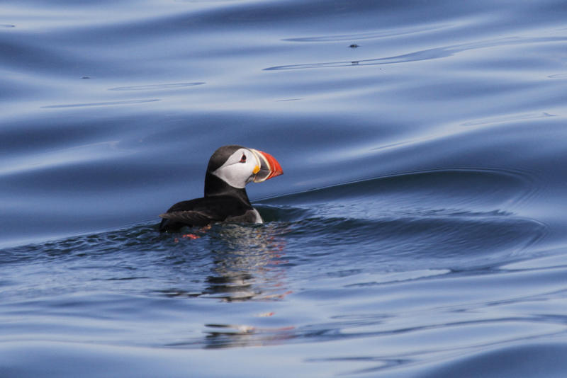puffin project