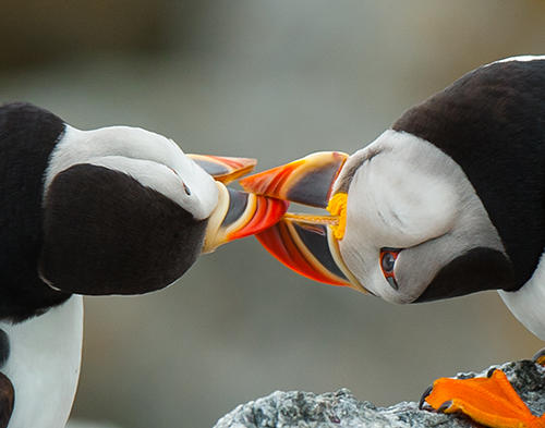 Puffins Locking Beaks Fighting