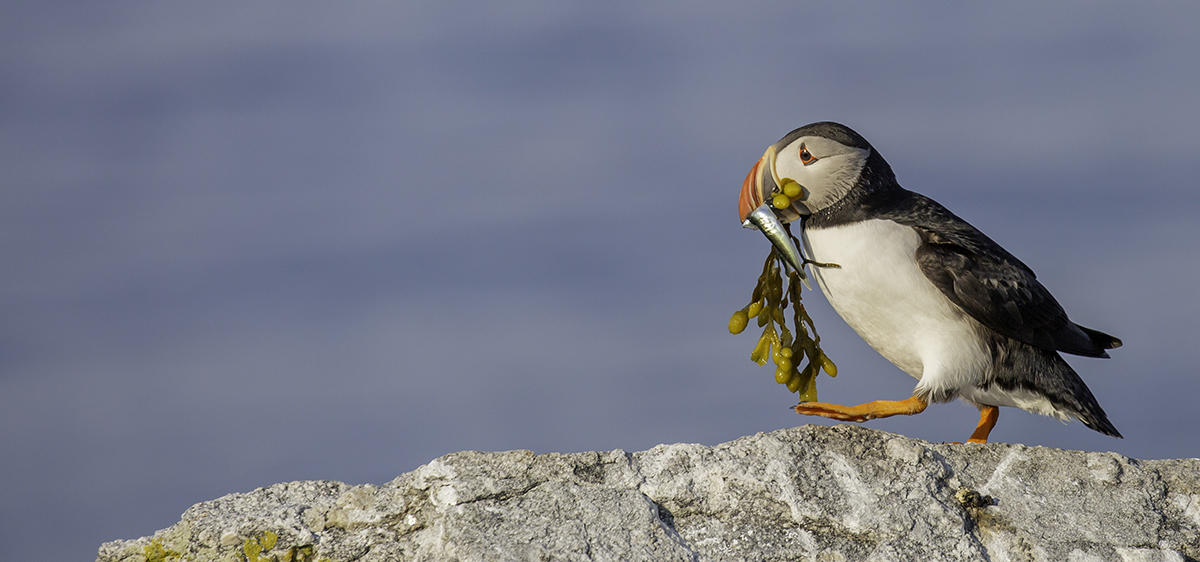 Puffin with Seaweed and Fish