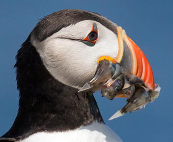 Atlantic Puffin Up Close with Redfish