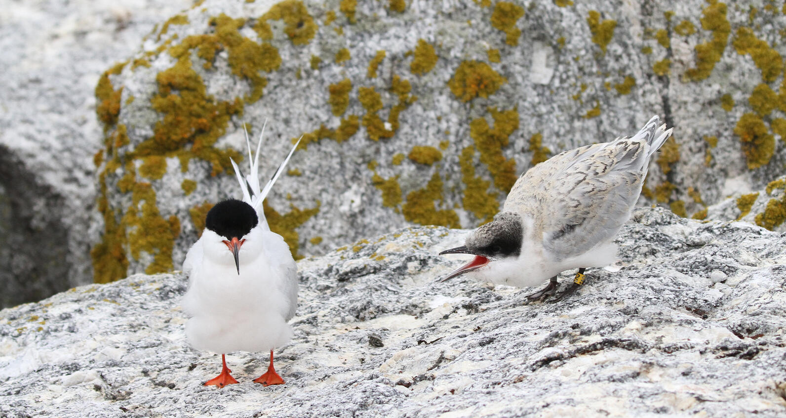 A Roseate Tern fledgling is looking to its parent for more dinner
