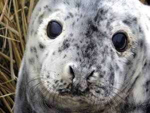 Gray Seal Pup by Sue Schubel