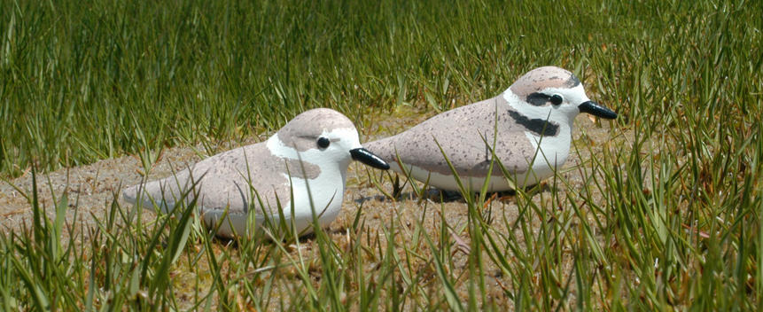 Snowy Plover Main Page Photo
