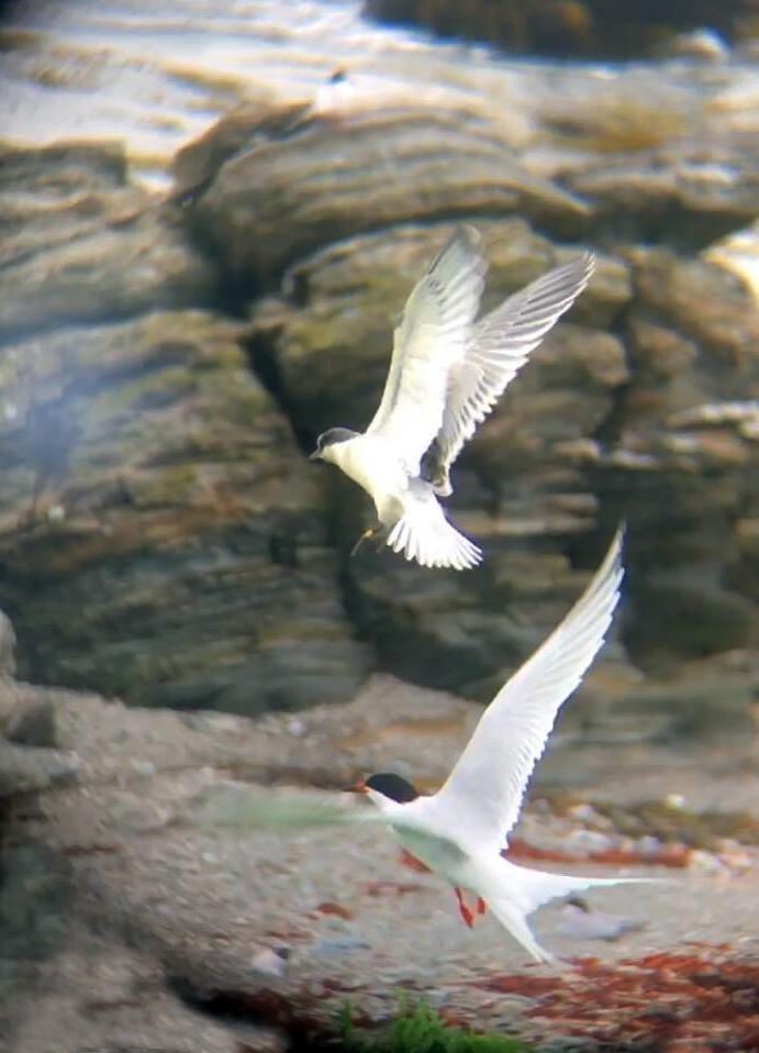 The first flight of a young Roseate Tern was spotted on Stratton Island