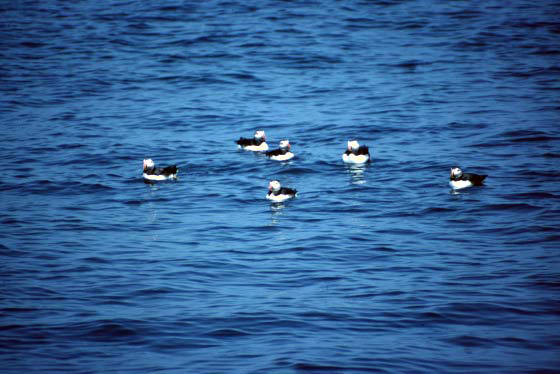 Swimming Puffins