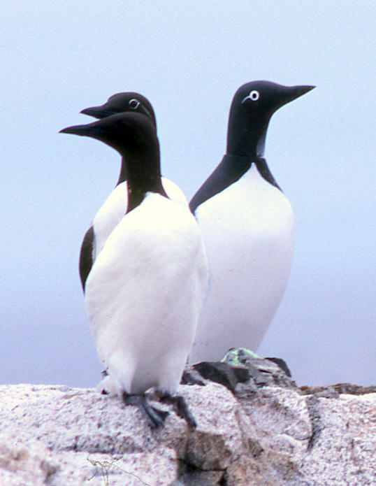 Two Murres with Murre decoy