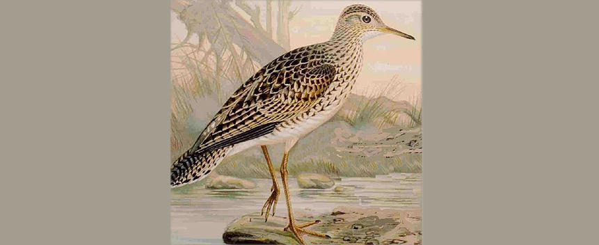 Upland Sandpiper Main Page Photo