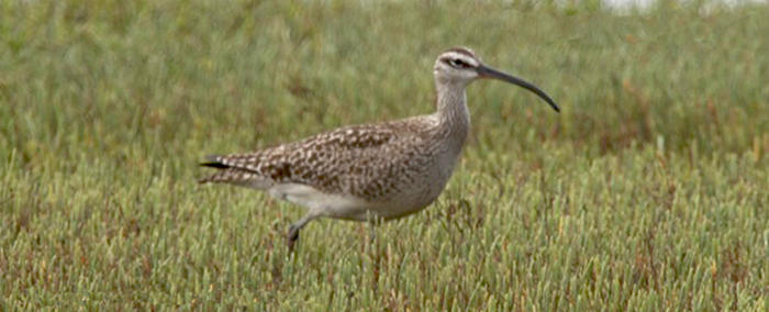 Whimbrel Main Page Photo