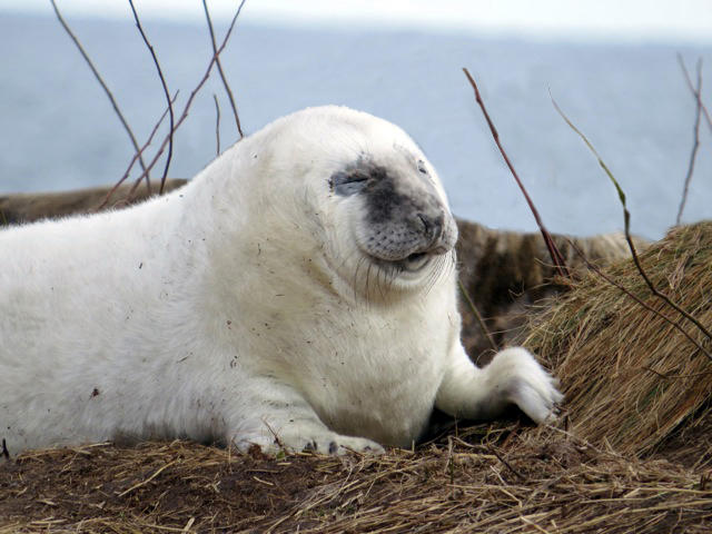 Young Gray Seal Pup by Sue Schubel