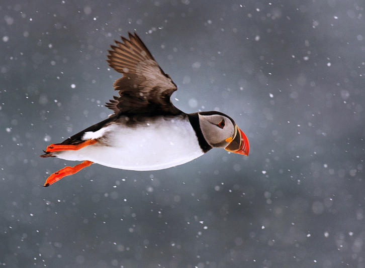 Winter Home of Maine Puffins Revealed | Audubon Project Puffin