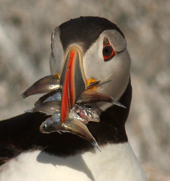 What Puffins Eat | Audubon Project Puffin